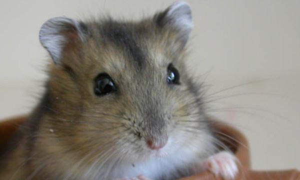 自制仓鼠笼子图片_仓鼠熊的种类及图片 熊的种类及图片大全_仓鼠 - 养宠客