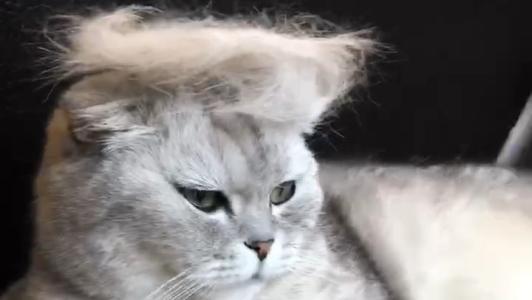 布偶是长毛猫还是短毛猫图片