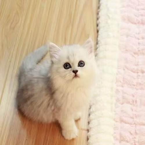 关于选长毛猫还是短毛猫的对比