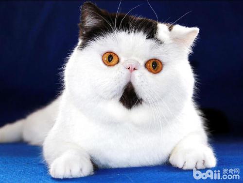 短毛猫好还是长毛猫好图片