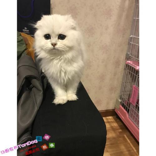 波斯猫是长毛猫还是短毛猫图片