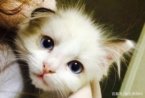 英短是短毛猫还是长毛猫图片